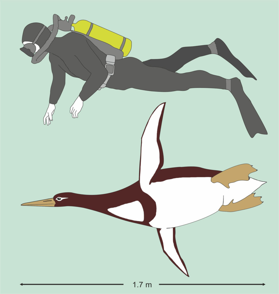 The size of the Kumimanu biceae in  comparison to a human diver. (Reconstruction by G. Mayr/Senckenberg Research Institute)