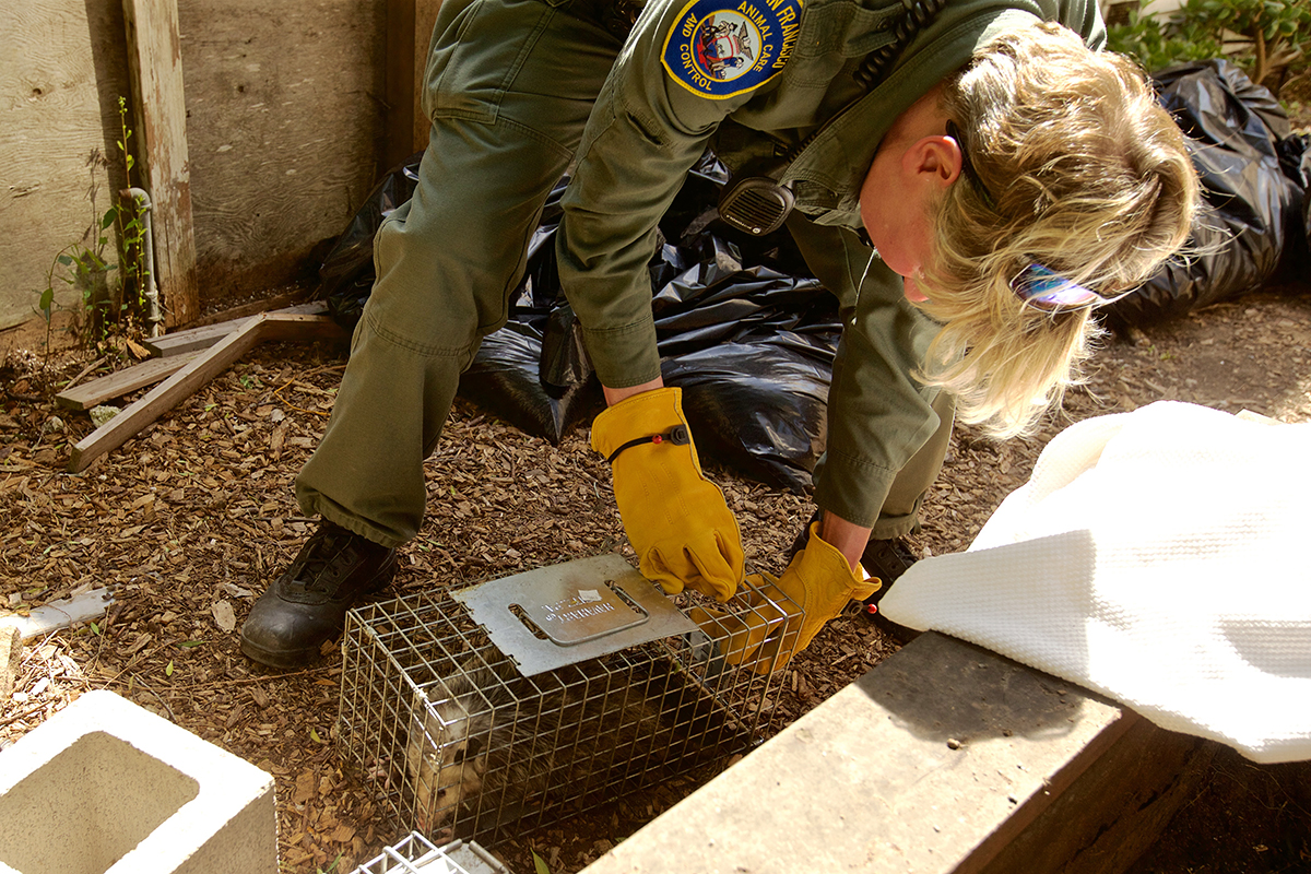 San Francisco Animal Care and Control Officer Rebecca Fenson readies to release a young opossum that was caught in a trap behind a home on Thursday, August 2, 2018. (Kevin N. Hume/S.F. Examiner)