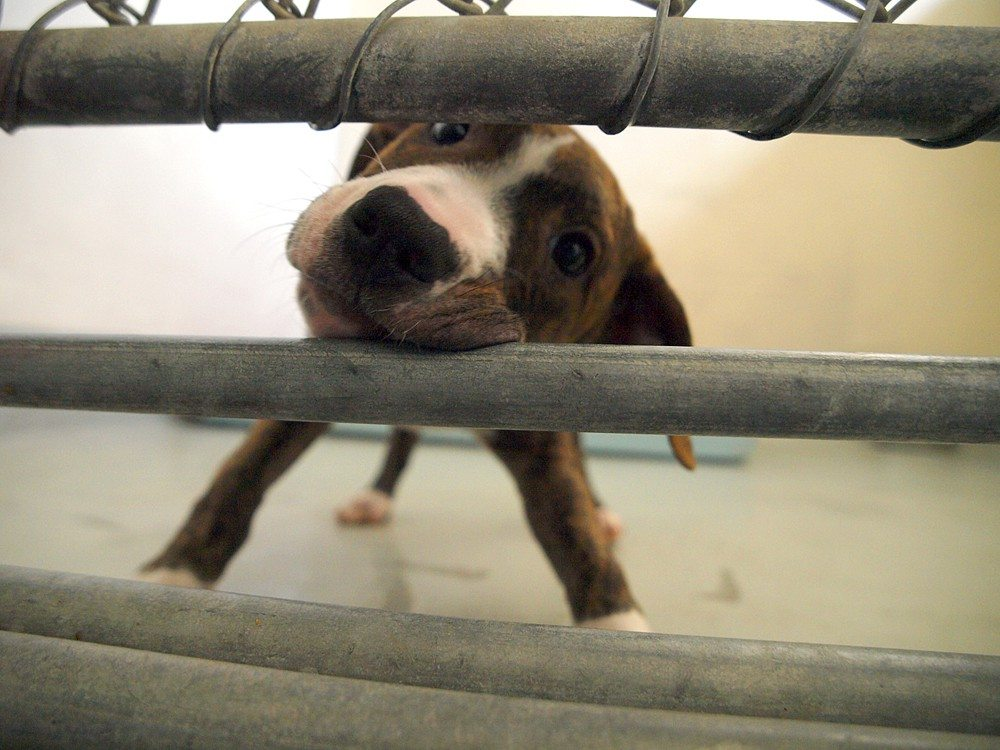 Animal Care and Control has seen a steady rise in the number of dogs brought in. (Mike Koozmin/The Examiner)Animal Care and Control has seen a steady rise in the number of dogs brought in. (Mike Koozmin/The Examiner)