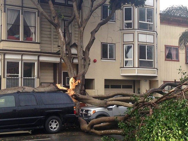 Courtesy of Friends of the Urban ForestThe removal of at-risk ficus trees like this one on Potrero Avenue near 23rd Street that fell on two vehicles is expected to become an easier process under a new initiative.