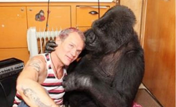 Red Hot Chili Pepper bassist Flea had some quality time with Koko the gorilla over the weekend. (Courtesy Instagram)