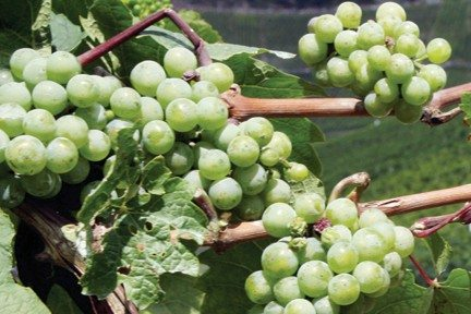 AP File PhotoMosel riesling is low in acid and high on floral and minerally flavors.
