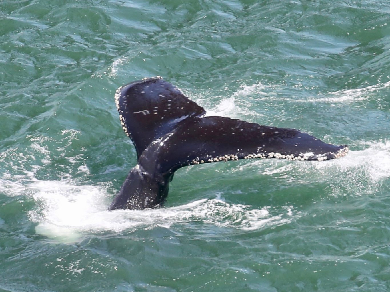 A whale is seen underneath the Golden Gate Bridge with entanglement scars on its tail. (Courtesy Joe Meuleman/Golden Gate Cetacean Research)