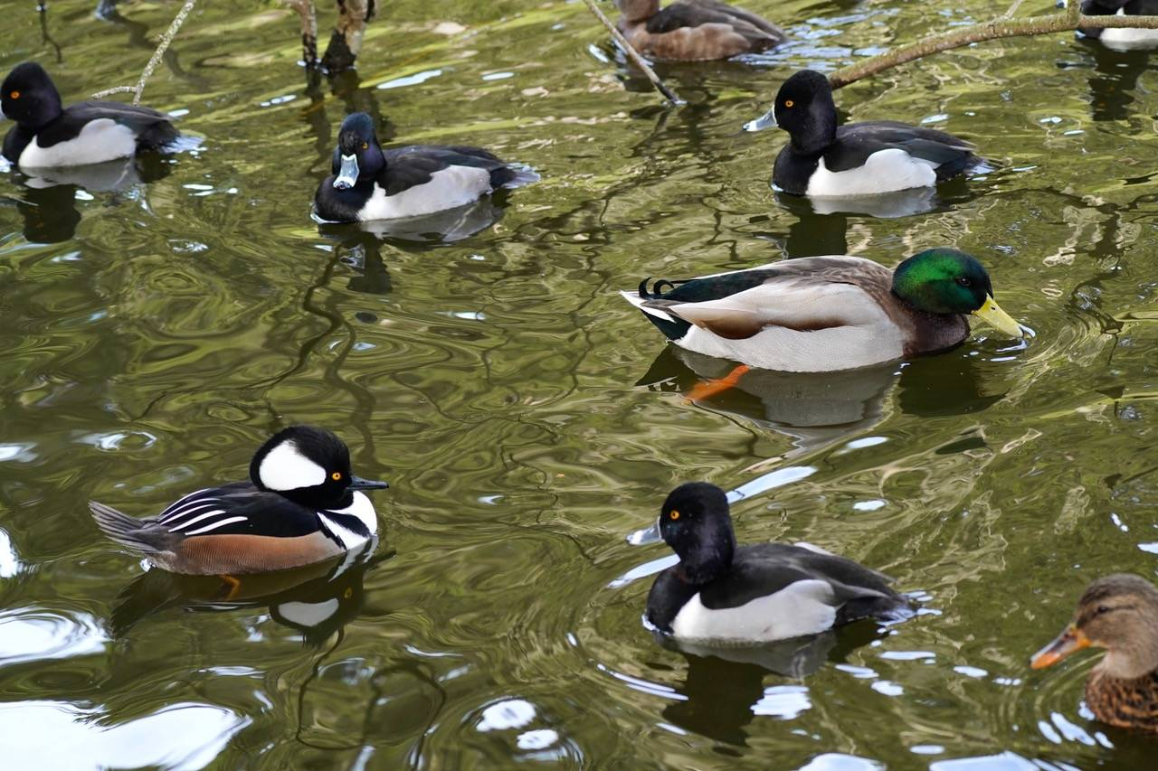 A variety of ducks in Golden Gate Park. ( Evleen Anderson/Special to S.F. Examiner)