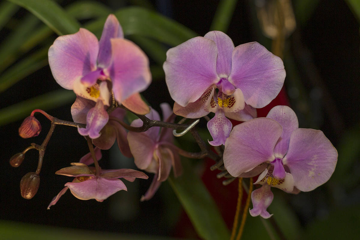 Phalaenopsis Orchids are on view and to photograph at the San Francisco Orchid Society 2020 Pacific Orchid Exposition at the County Fair Building on Friday, Feb. 21, 2020. (Amanda Peterson/Special to S.F. Examiner)