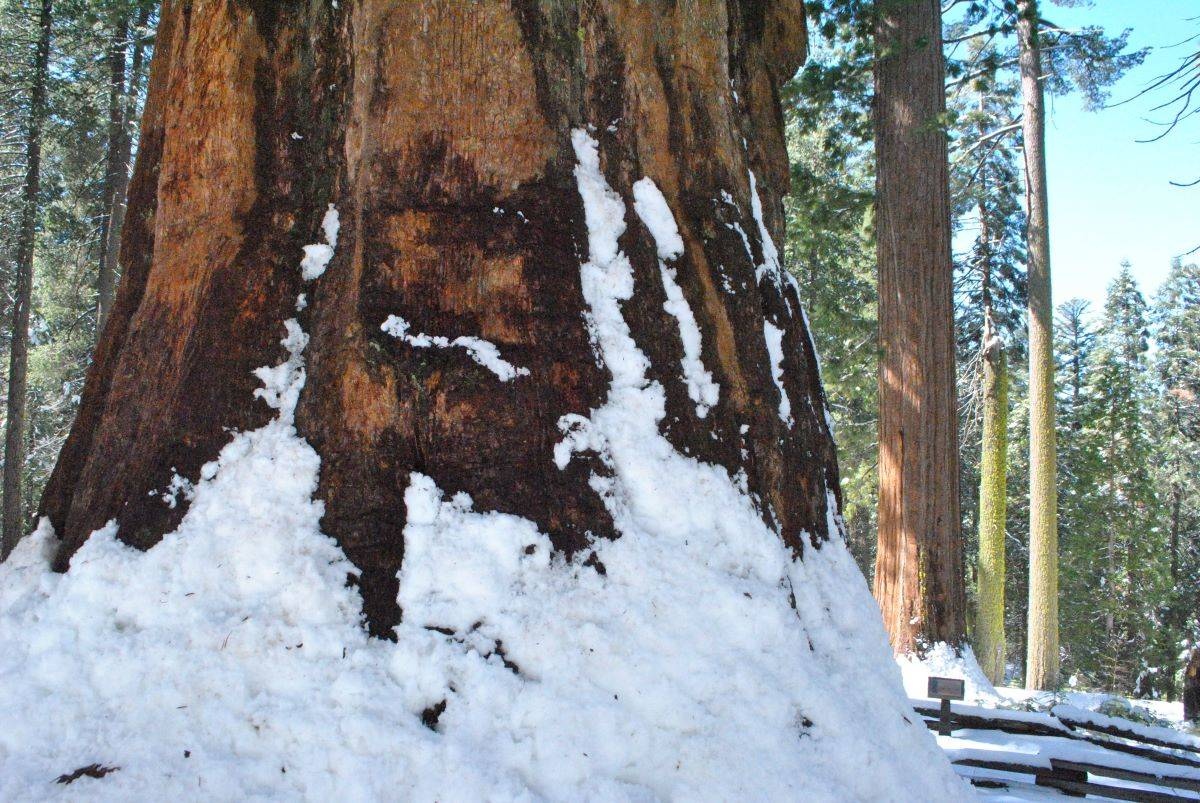 A tour through the Tuolumne Grove of Giant Sequoias provides a good introduction to snowshoeing or cross country skiing. (Matt Johanson/Special to S.F. Examiner)