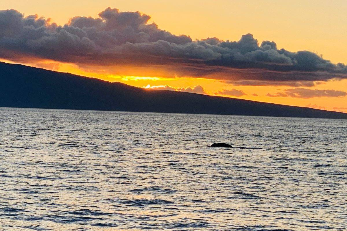 A whale calf swimming by at sunset is seen from PacWhale's Ocean Quest dinner cruise. (Julie L. Kessler/Special to S.F. Examiner)