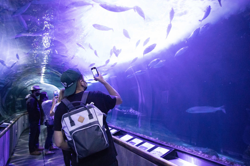 A visitor snaps a photo of fish in a tunnel at Aquarium of the Bay on Friday. (Sebastian Miño-Bucheli/Special to S.F. Examiner)