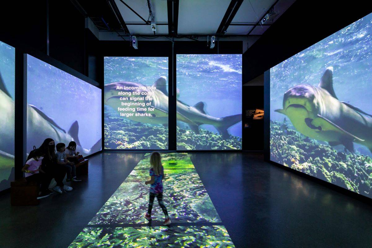 """""""Sharks,"""" opening May 28 at the California Academy of Sciences, takes a comprehensive and innovative look at the diverse predators. (Courtesy Gayle Laird/California Academy of Sciences)"""